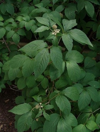 Russisk rot/Sibirsk ginseng